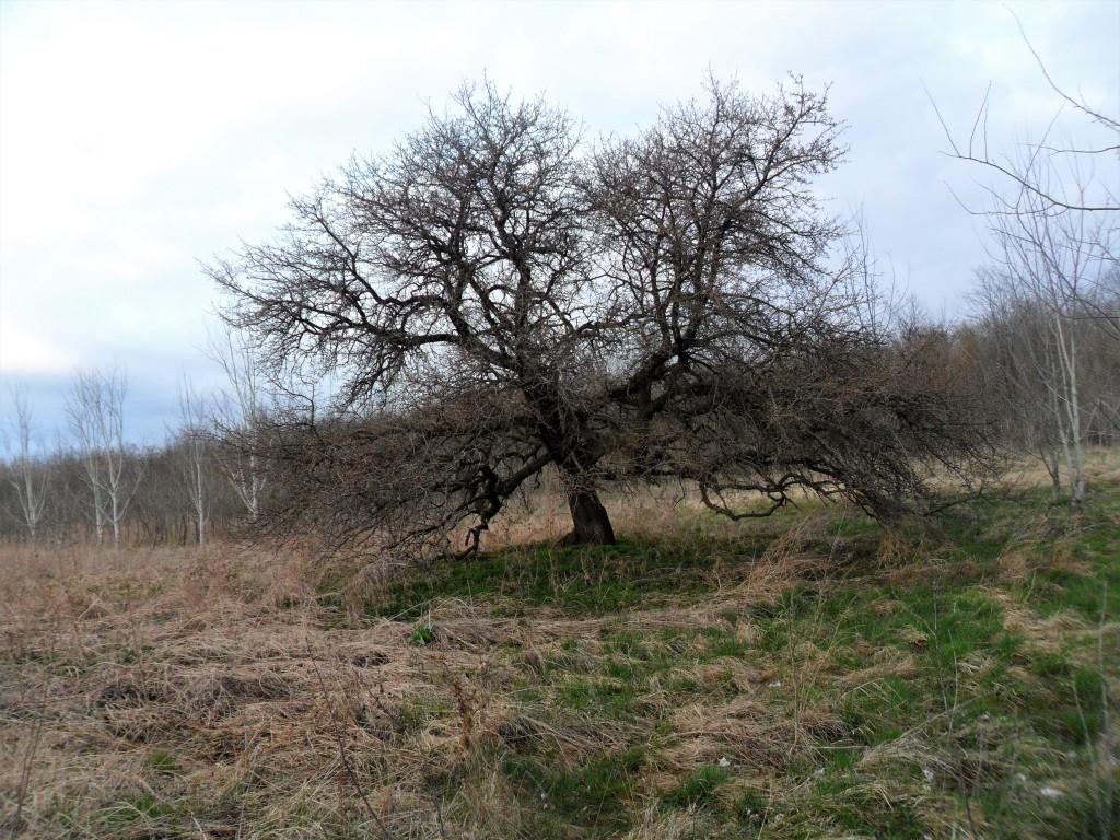 Vadkörtefa-Ódry Terézia fotója